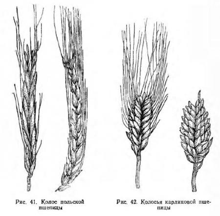 Разновидности эритроспермум и лютесцен